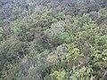 Starr-091120-9976-Polyscias oahuensis-aerial view-Koolau Forest Reserve East Maui-Maui (24897706101).jpg