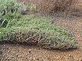 Starr-091222-0953-Atriplex semibaccata-mat-Lua Kealialalo-Kahoolawe (24697409780).jpg