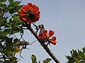 Starr-100114-1256-Erythrina sp-flowers-Enchanting Floral Gardens of Kula-Maui (24380008253).jpg