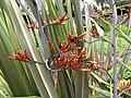 Starr-100616-7085-Phormium tenax-flowers-Waipoli Rd Kula-Maui (24409891344).jpg
