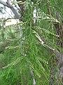 Starr-101228-5934-Tamarix aphylla-flowers-Honokanaia-Kahoolawe (24428515264).jpg