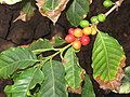 Starr-110209-0804-Coffea arabica-berries and leaves-Resort Management Group Nursery Kihei-Maui (24981379541).jpg