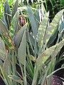Starr-110215-1218-Strelitzia reginae-habit-KiHana Nursery Kihei-Maui (24957729902).jpg