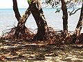 Starr-110312-3191-Thespesia populnea-after tsunami roots exposed sand eroded-Kanaha Beach-Maui (24448782904).jpg