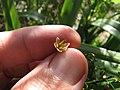 Starr-110411-4936-Dianella sandwicensis-flower form sandwicensis-Hawea Pl Olinda-Maui (24451827694).jpg