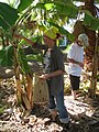 Starr-110627-6777-Musa x paradisiaca-Dwarf Brazilian habit with Michelle and Brent conducting little fire ant Wasmannia auropunctata survey-Waihee-Maui (24729739509).jpg