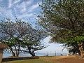 Starr-130320-3519-Terminalia catappa-habit with high clouds-Anini Beach-Kauai (24582480173).jpg