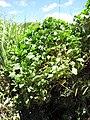 Starr-130702-5465-Ipomoea alba-habit-Kealia Pond-Maui (24849934849).jpg
