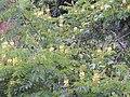 Starr-140304-0031-Caesalpinia decapetala-flowering habit with banana poka-Kekaulike Hwy Kula-Maui (25147778011).jpg