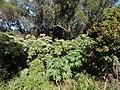 Starr-141229-3305-Ricinus communis-habit-Hoku Nui Piiholo-Maui (24954778260).jpg