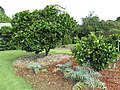 Starr-150301-0369-Citrus sinensis-Washington navel flowering habit-Hawea Pl Olinda-Maui (24638398123).jpg
