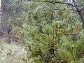 Starr 010515-0118 Pinus pinaster.jpg