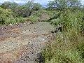 Starr 020422-0044 Chenopodium oahuense.jpg