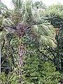 Starr 020813-1027 Livistona chinensis.jpg