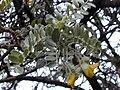 Starr 030419-0051 Sophora chrysophylla.jpg