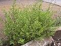 Starr 030628-0154 Chenopodium ambrosioides.jpg