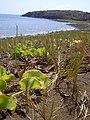 Starr 030923-0251 Ipomoea pes-caprae subsp. brasiliensis.jpg