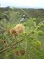 Starr 040513-0039 Leucaena leucocephala.jpg