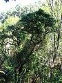 Starr 041219-1648 Antidesma platyphyllum.jpg