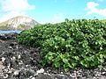 Starr 050224-4440 Hibiscus tiliaceus.jpg