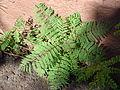 Starr 061223-2768 Jacaranda mimosifolia.jpg