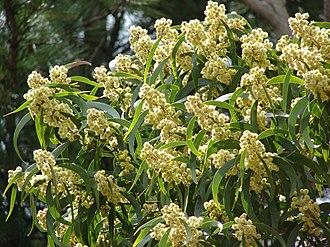 Acacia koa - Image: Starr 070205 4082 acacia koa 2