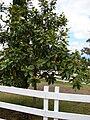 Starr 070618-7340 Magnolia grandiflora.jpg