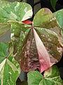 Starr 070906-8991 Hibiscus tiliaceus.jpg