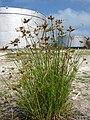 Starr 080601-5230 Cyperus polystachyos.jpg