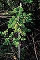 Starr 990119-3225 Rubus niveus f. a.jpg
