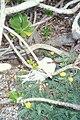 Starr 990406-0394 Tribulus cistoides.jpg
