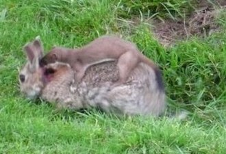European rabbit - European rabbit attacked by a stoat, Northumberland, UK.