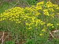 Strahlenförmige gelbe Blüten.JPG