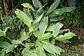 Strelitzia reginae 8zz.jpg