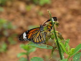Striped Tiger (Danaus genutia).jpg