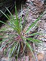 Stylidium graminifolium habitus1.jpg