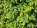 Styphnolobium japonicum Pendulum Périgueux feuillage.jpg