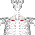 Subclavius muscle frontal.png