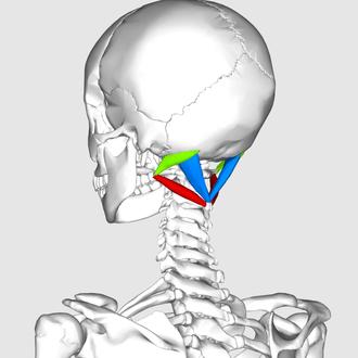 Suboccipital triangle - Image: Suboccipital triangle 11