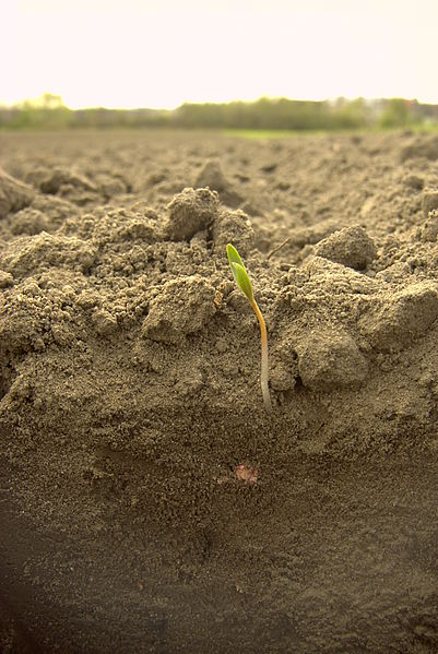 File:Sugar beet-sprout.jpg