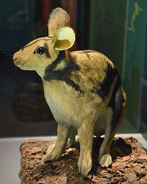 Sumatran striped rabbit - A model of an adult