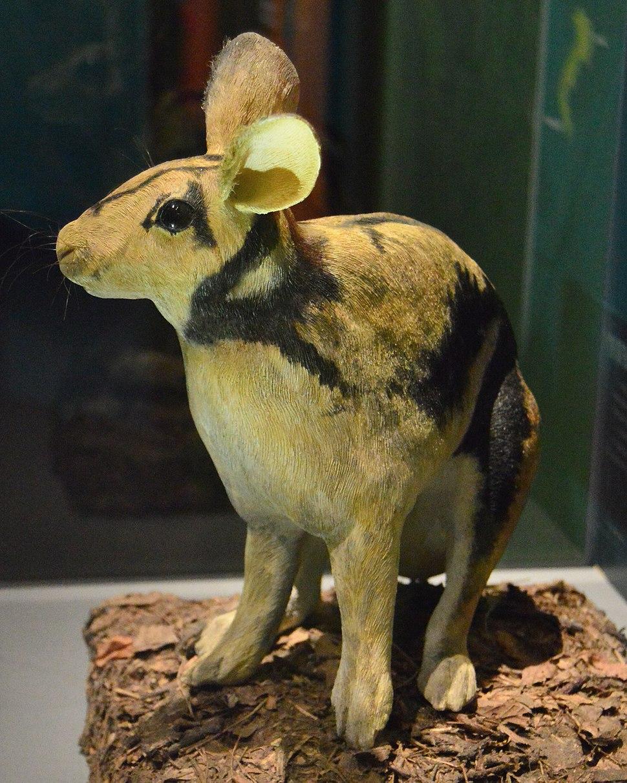 Sumatran Striped Rabbit Recontruction