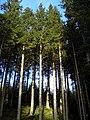 Sunlit Conifers on Hillside Above Tweeden Burn - geograph.org.uk - 608649.jpg