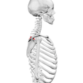 Supraspinous fossa of scapula06.png