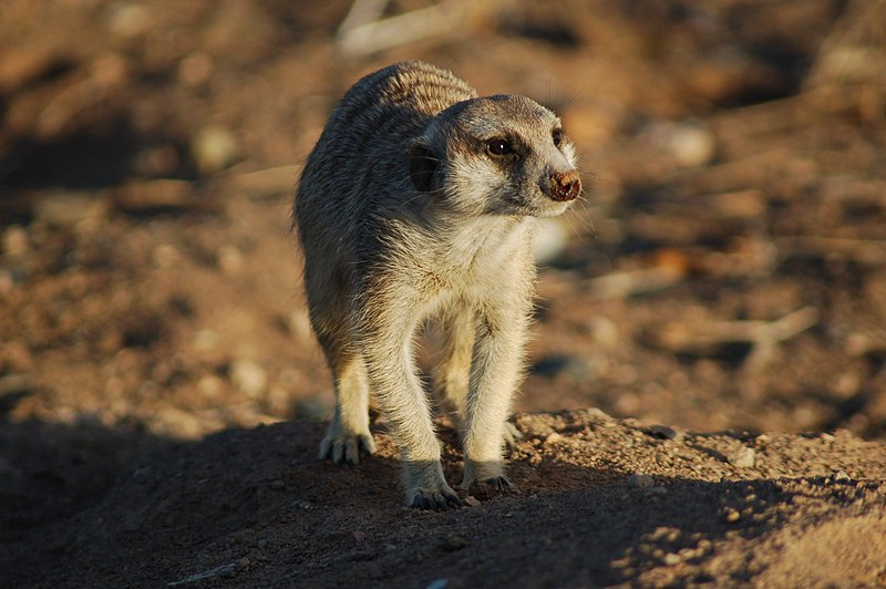 File:Suricates, Namibia (3166701286).jpg