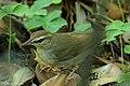 Swainson's Warbler Hooks Wood High Island TX 2018-04-11 09-56-47 (41767267702).jpg