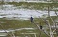 Swallow on Fungu Island jungle (2719255529).jpg