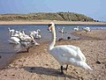 Swans at the mouth of the River Ugie - geograph.org.uk - 482141.jpg