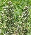 Symphyotrichum frondosum 4692028.jpg