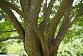 Syringa reticulata Ivory Silk 2zz.jpg